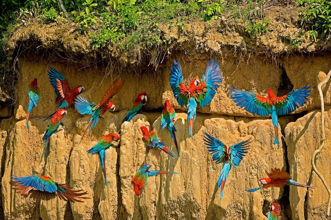 Red and green Macaw Ara Chloroptera Group Eating Clay Cliff At Manu, Peru