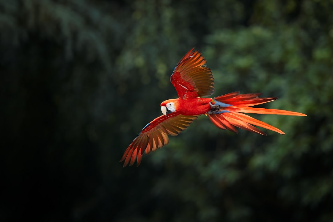 Ara Macao Scarlet Macaw Big Red Colored Amazonian Parrot In