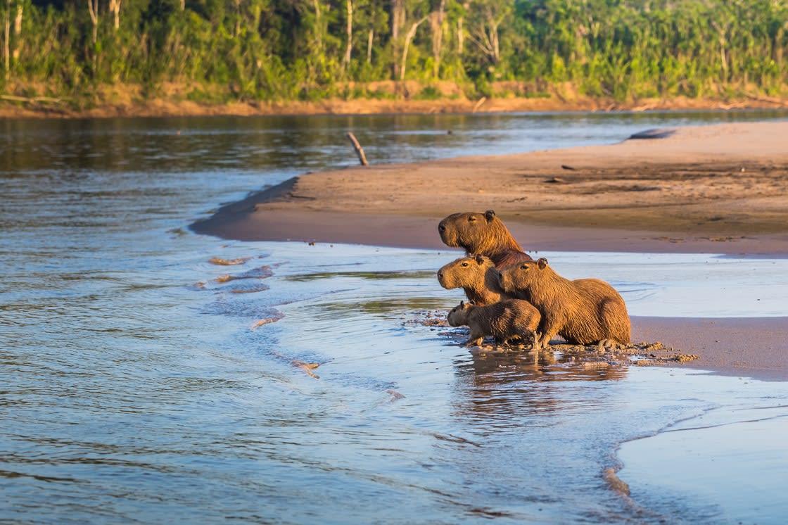 Family Of Capybara In The Peruvian Amazon