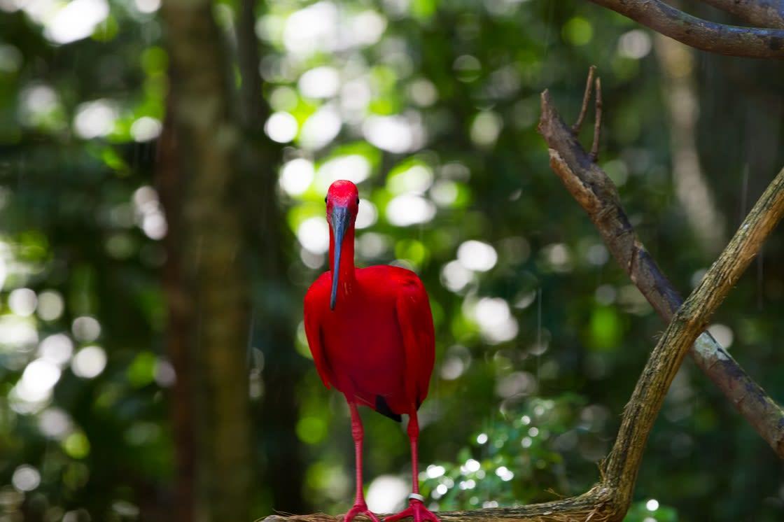 Scarlet Ibis At Iguazu  Waterfalls National Park
