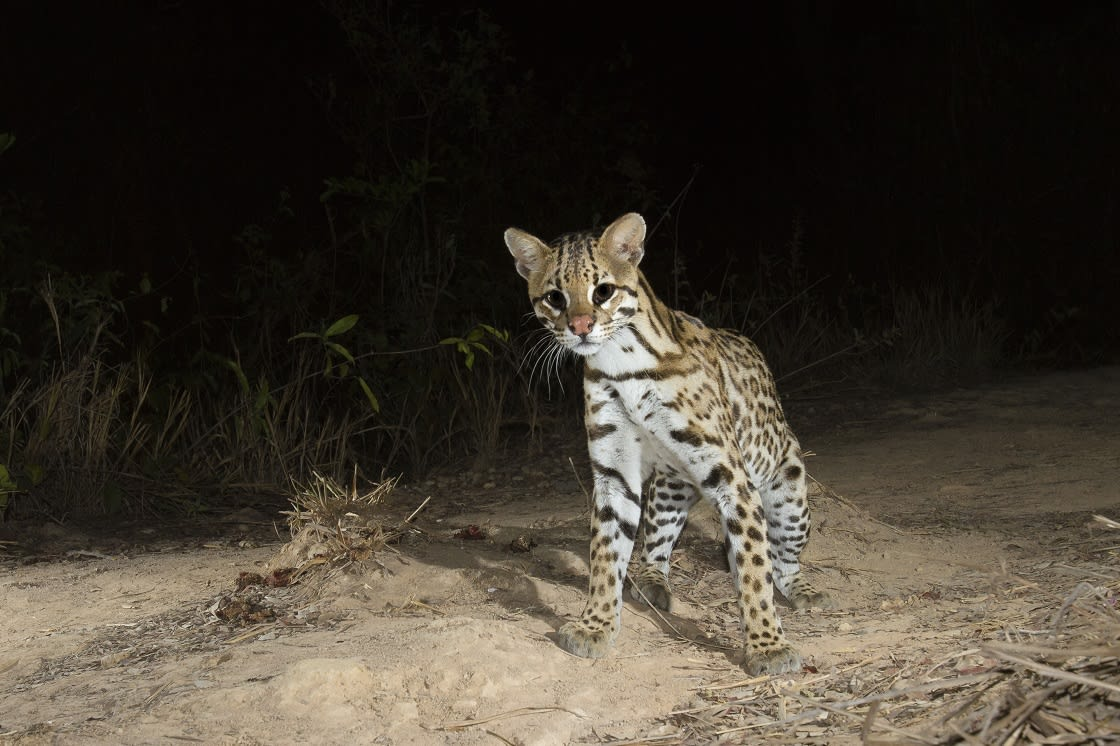 Young Ocelot At Night