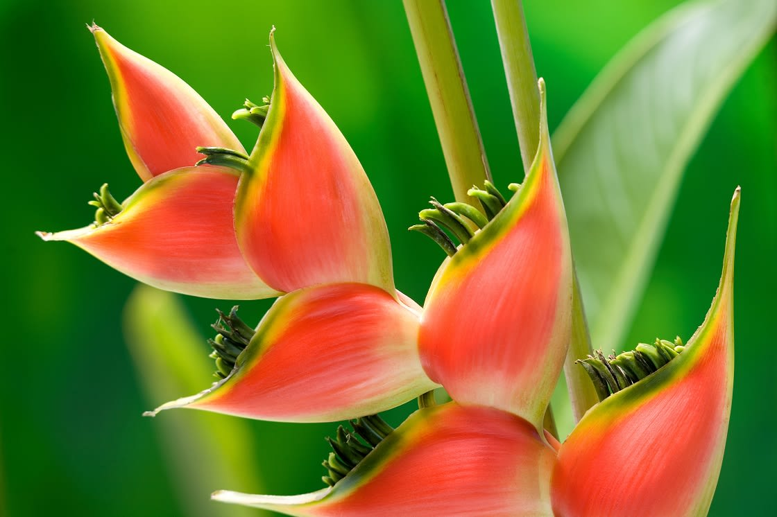 Red Tropical Heliconia Flower Macro Isolated On Green Background