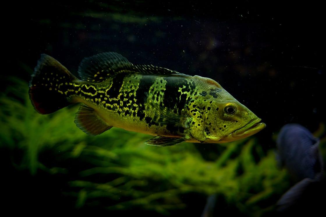Cichla Monoculos In Aquarium Fish