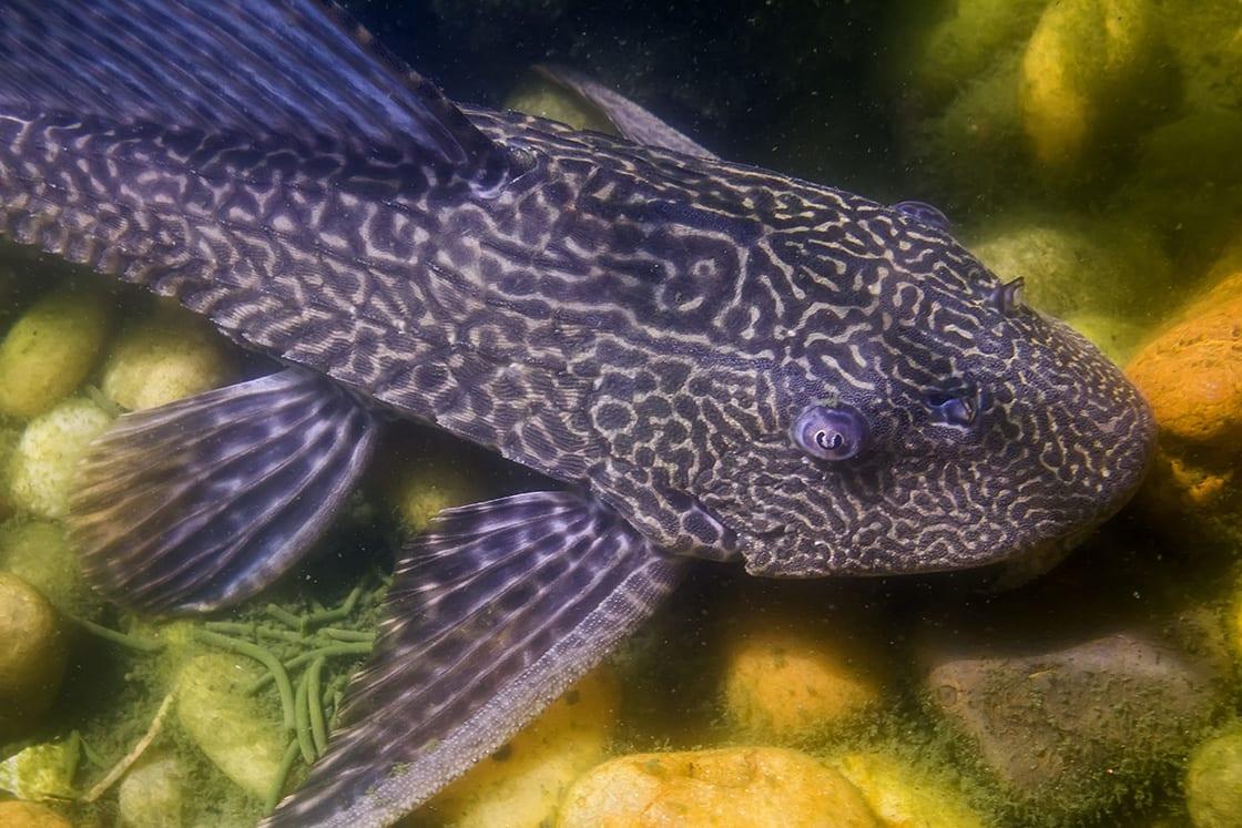Amazon Sailfin Catfish Is A Freshwater Tropical Fish
