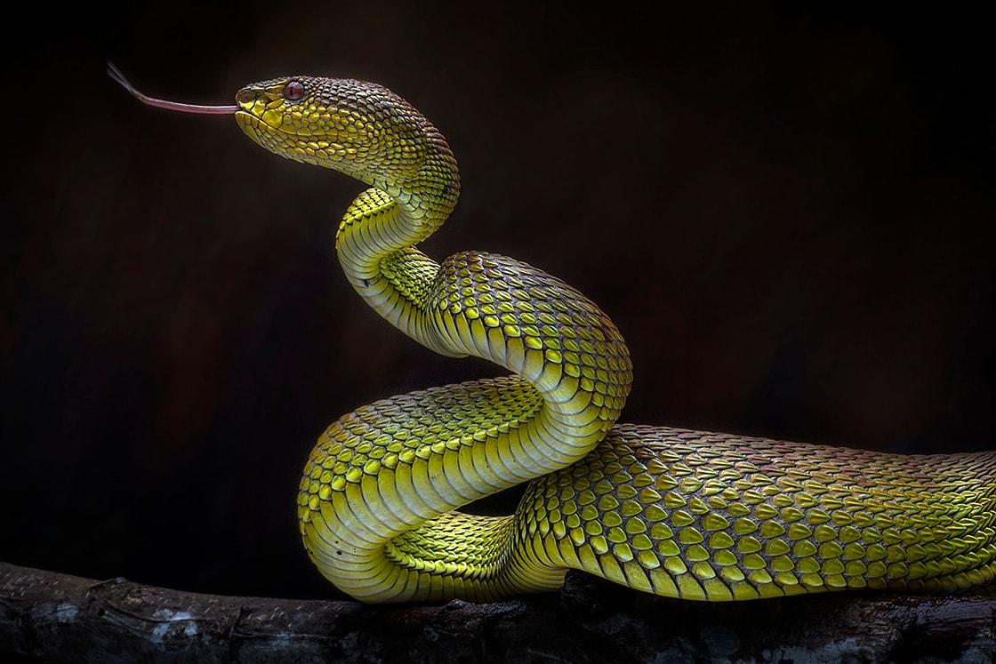 Venomous Snake Viper Reptile Photo Series