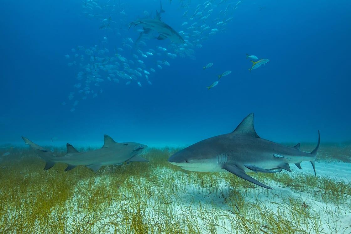 Bull Shark In Its Natural Habitat