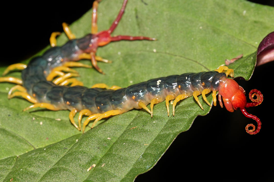 The Extremely Venomous,Peruvian,Giant,Yellow-leg Or Amazonian Giant Centipede