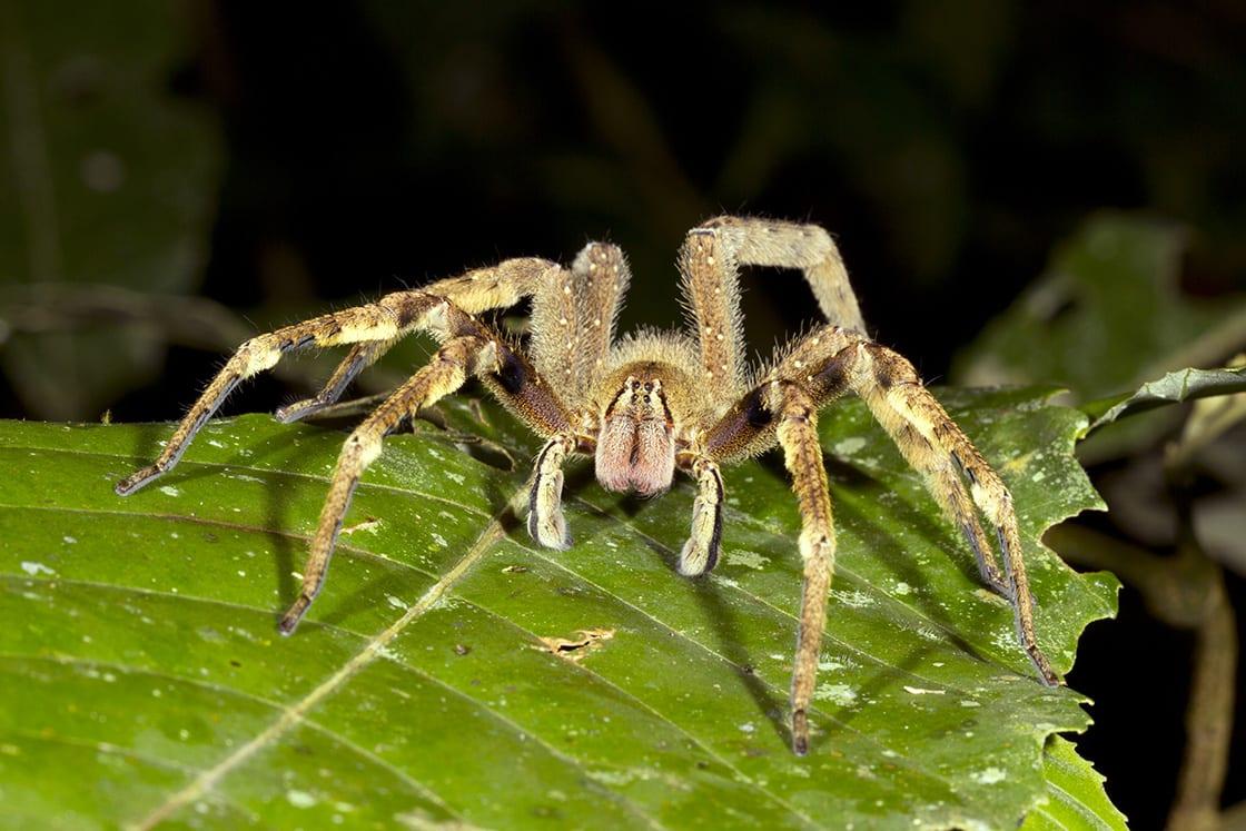 Venomous Wandering Spider Looking At The Camera Ecuador