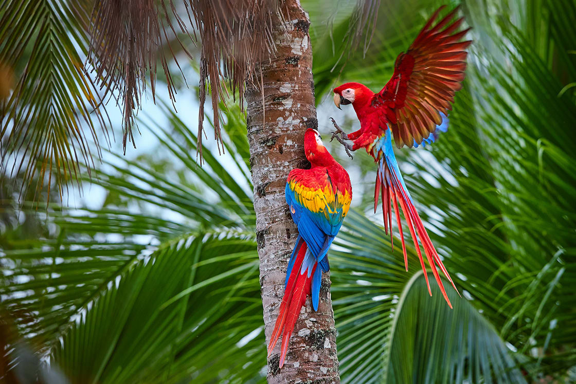 Pair Of Big Red Colored Macaw On A Palm Tree