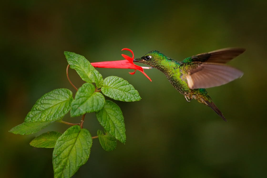 Trochilidae Hummingbirds