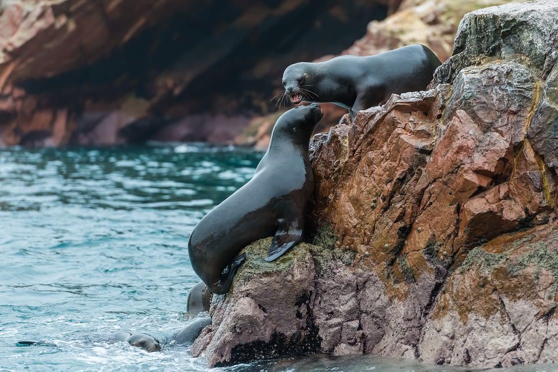 Sea lions in Ballestas