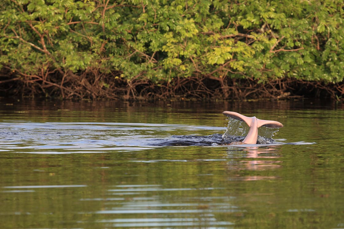 Pink Dolphin Diving In A Bolivian River