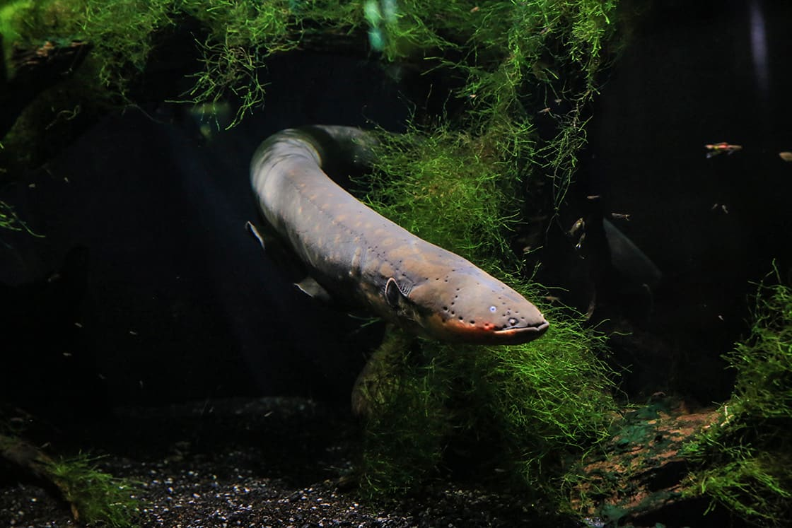 An Electric Eel Emerges From The Algae, His Head Is Visible