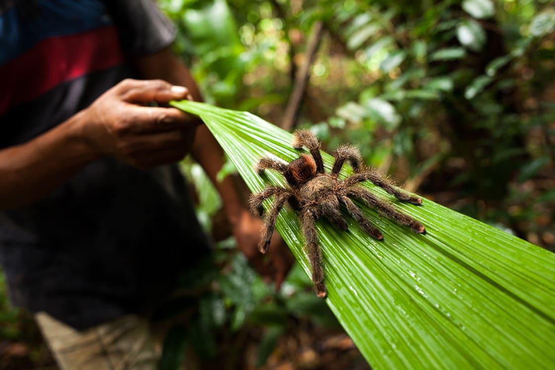 Tarantula In THe PAcaya Samiria Reserve, Peru