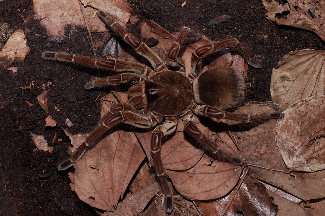 The Goliath Bird-Eating Spider