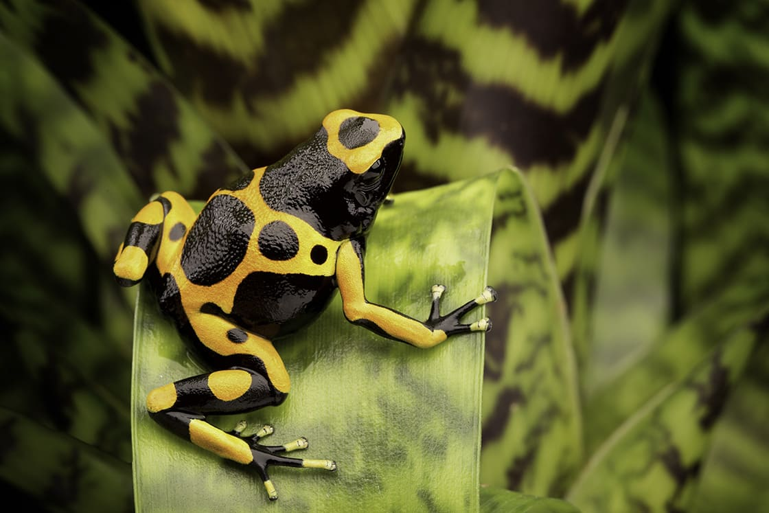 The yellow-banded poison dart frog, also known as yellow-headed poison dart frog
