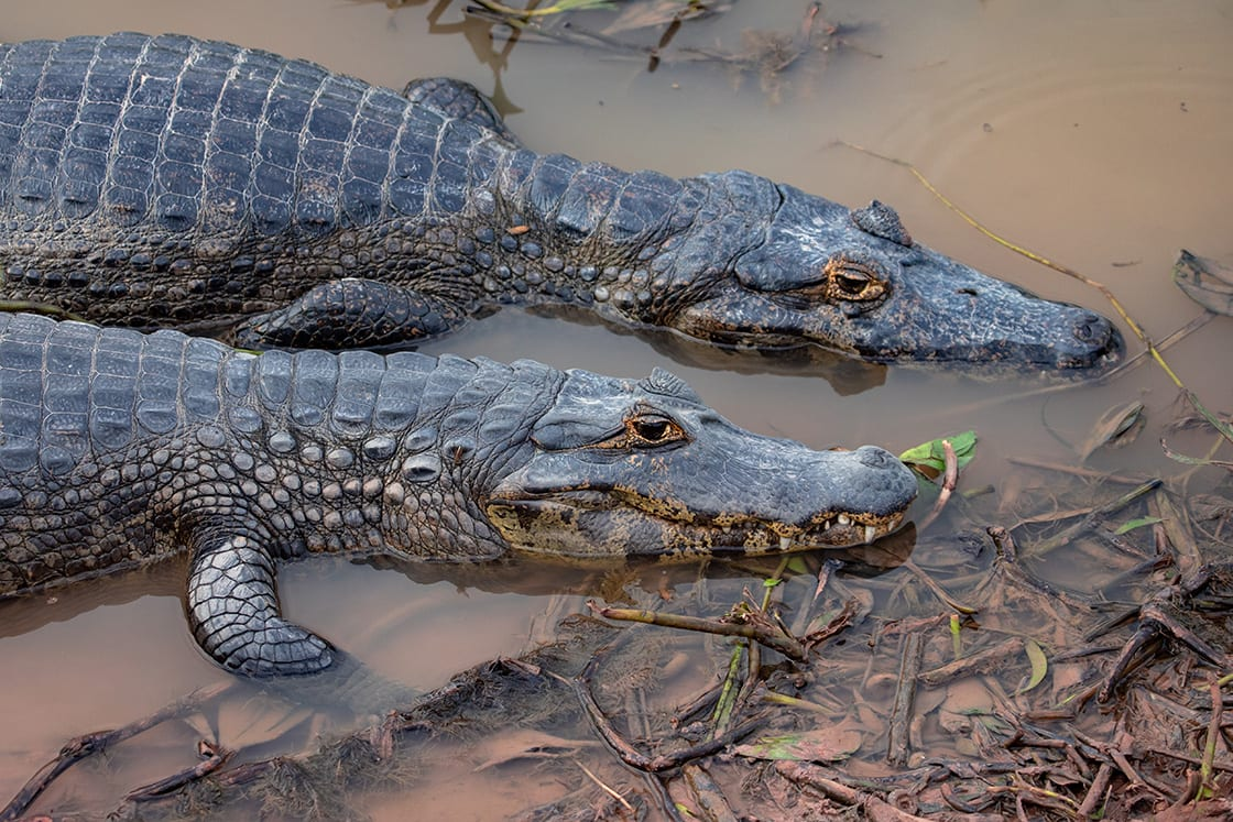 Two Broad snouted Caiman, Side by Side On Pantanal