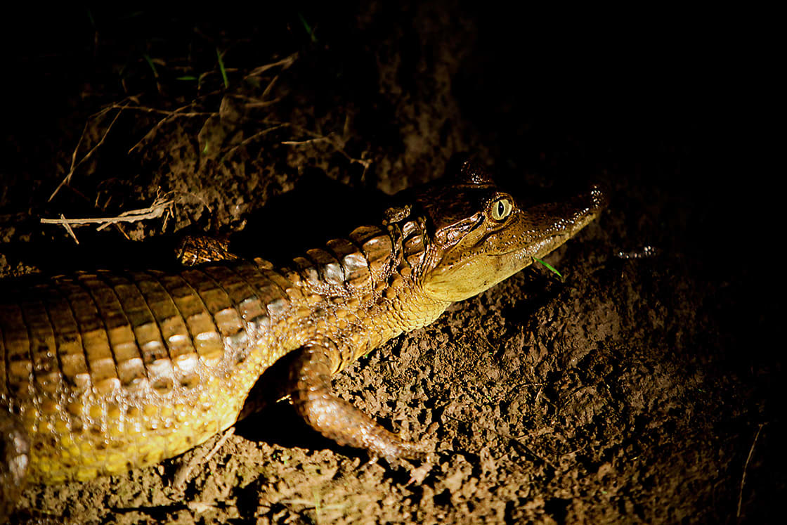 Also known as the white caiman, it is It is brownish-, greenish-, or yellowish-gray colored