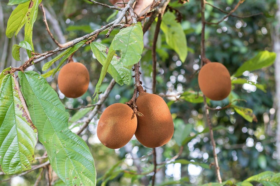 Cupuacu, Amazonian Fruit