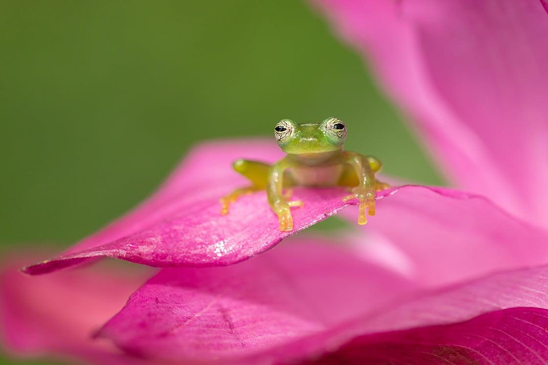 Centrolene Prosoblepon Is A Species Of Frog