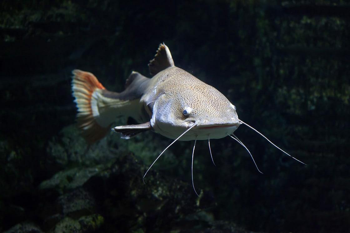 Freshwater Fish, Redtail Catfish