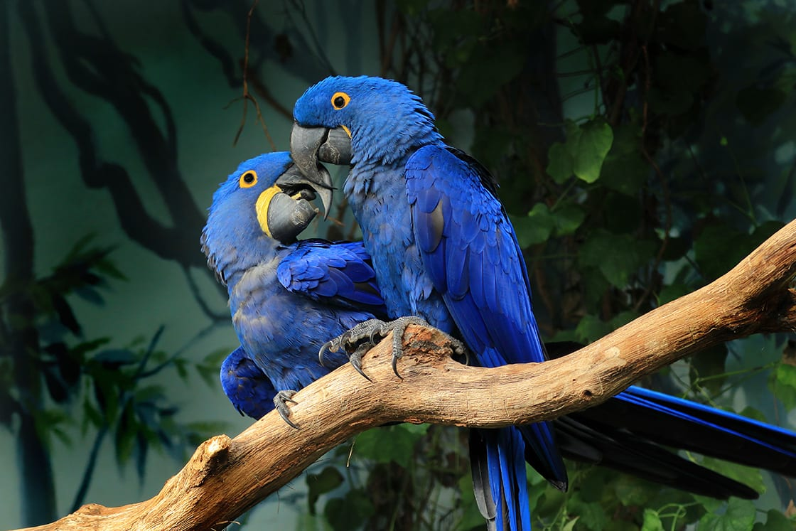 Pair Of Blue Hyacinth Macaw Perched On A Branch