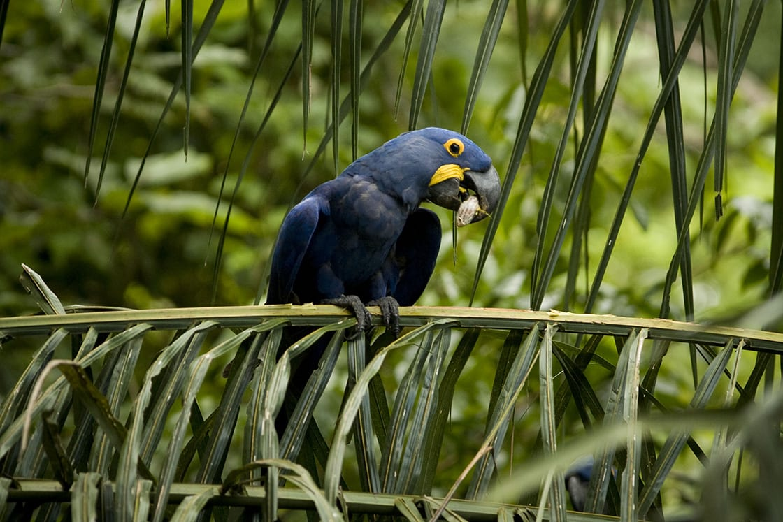 The hyacinth macaw survives today in three main populations in South America