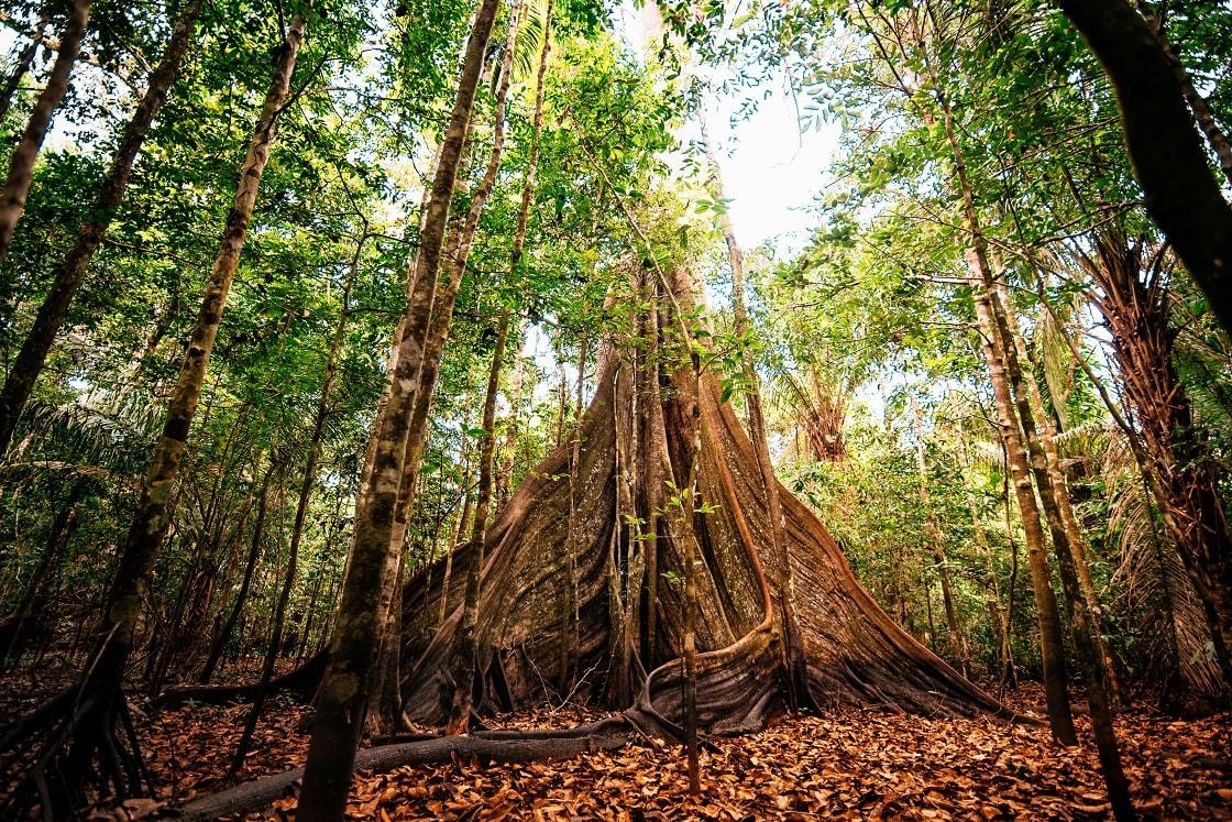 Giant Kabok Tree