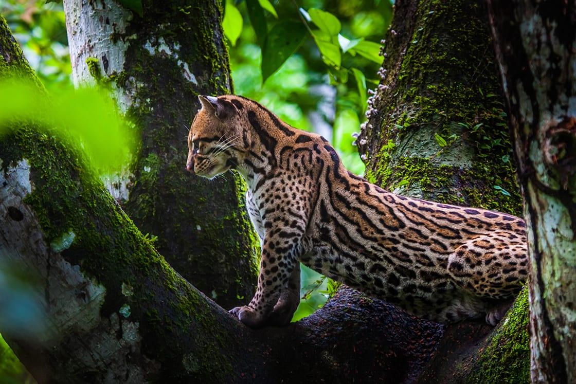 Oncilla Wild Cat On A Tree In Ecuador