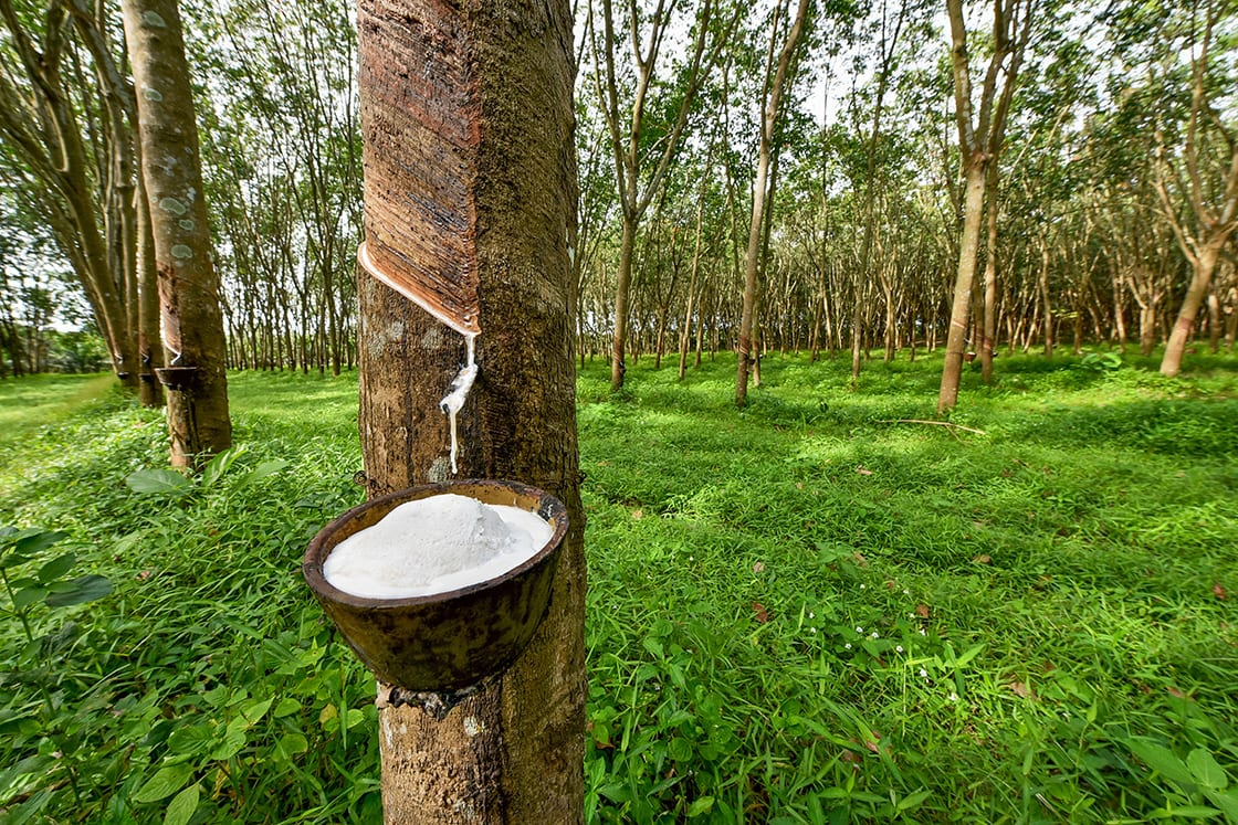 Rubber Tree And Bowl Filled With Latex
