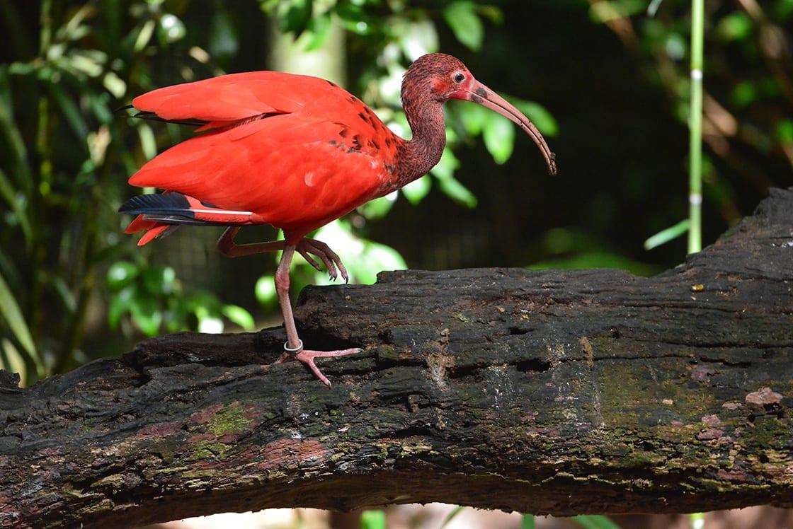 Scarlet Ibis in Bird Park