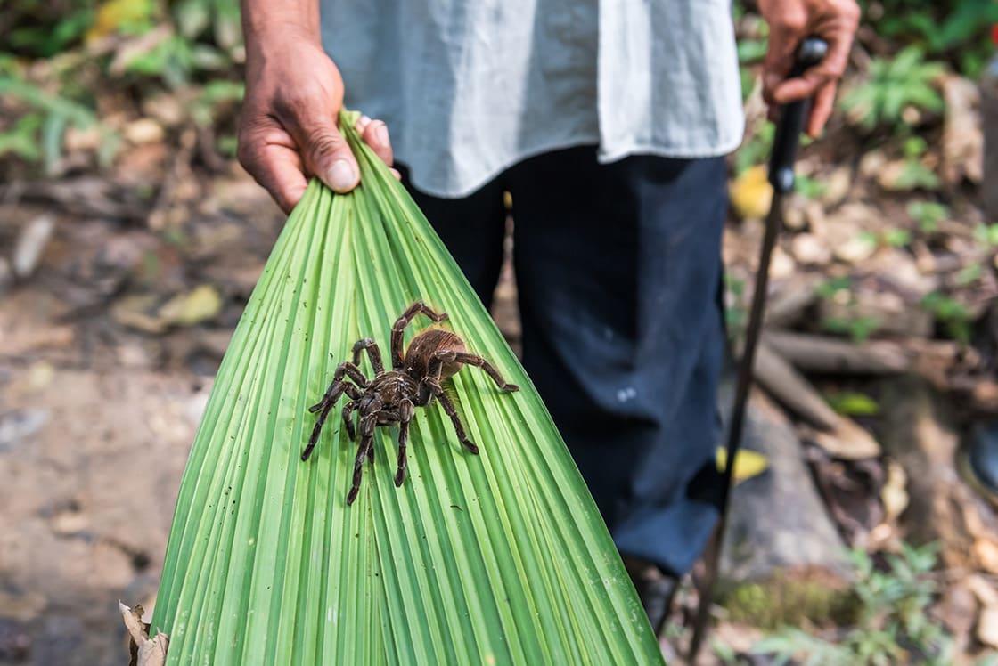 Amazon Tarantula On Leaf In The Jungle