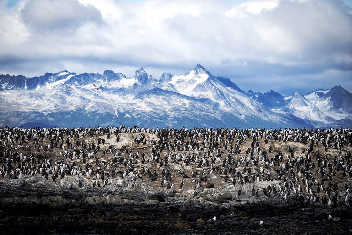 Magellanic penguins in Tierra del Fuego