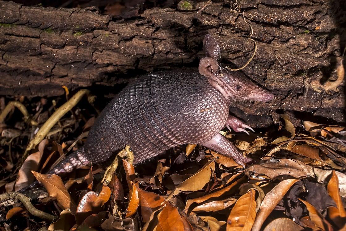 Nocturnal-Animals-Amazon-Rainforest-Armadillo