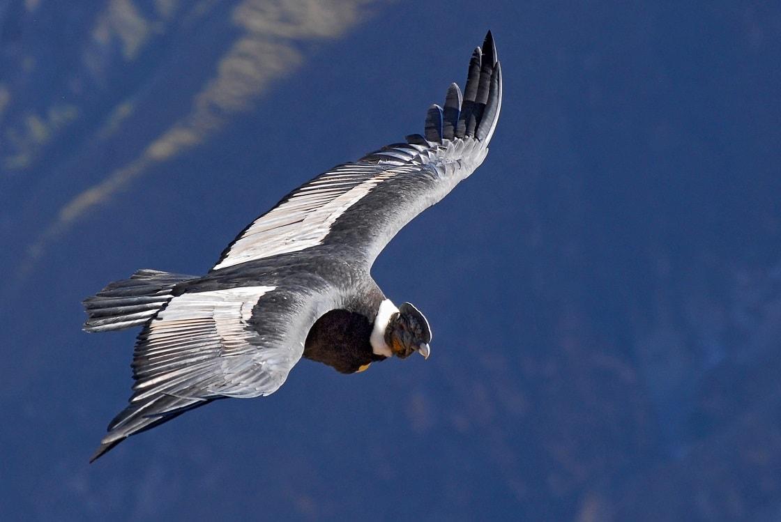 The Andean Condor (vultur Gryphus)
