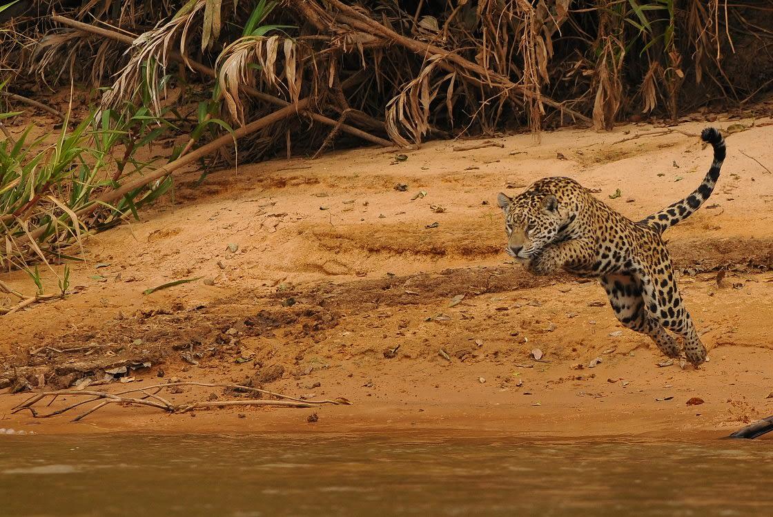 Jaguar In Action