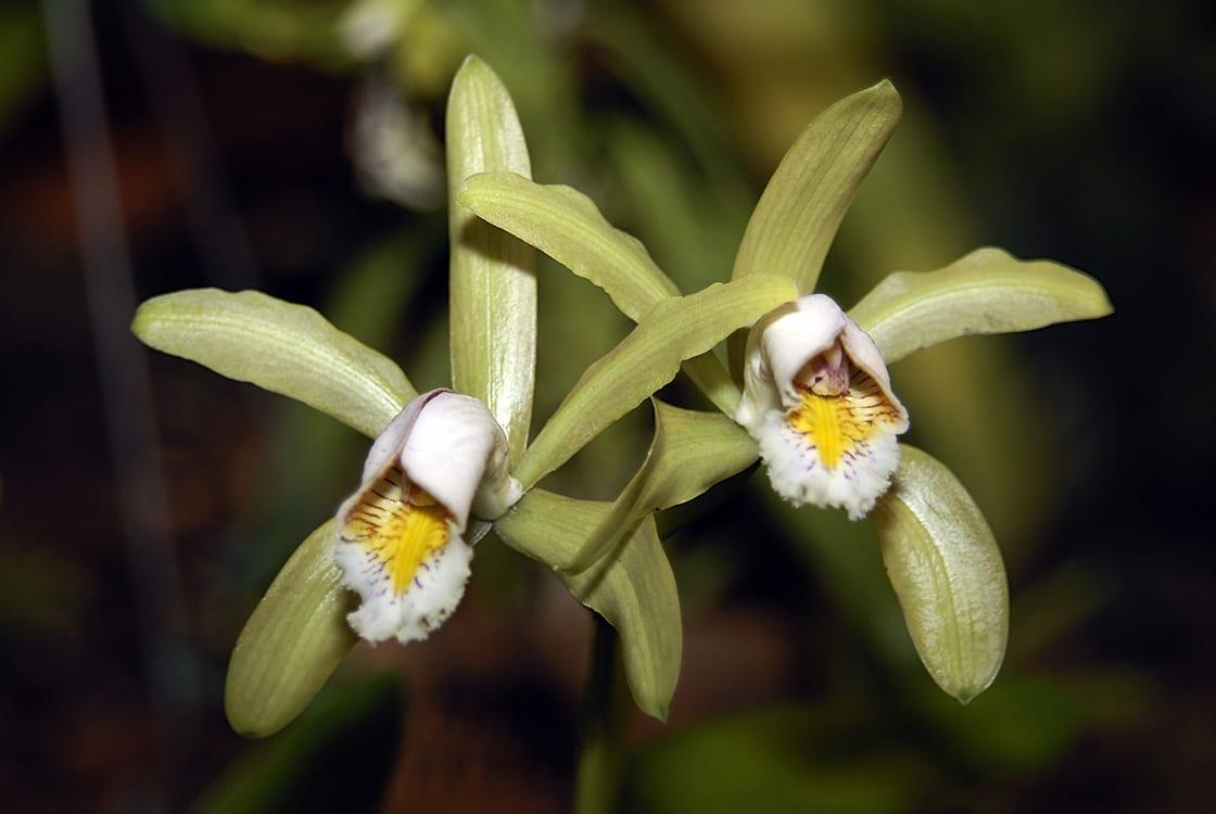Cattleya Forbesii Orchideengewaechse Orchidaceae amazonas brasilien