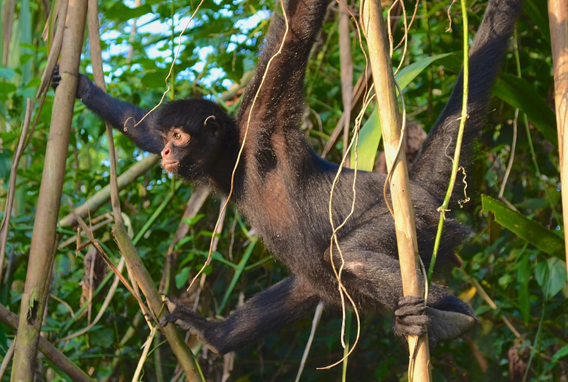 Spider Monkey In The Trees Of The Amazon Rainforest