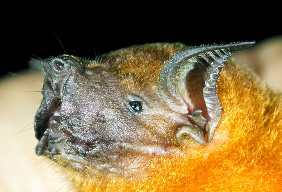 Greater Fishing Bat