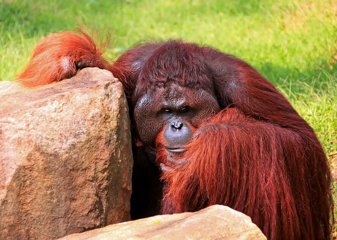 Evil Apes in Borneo