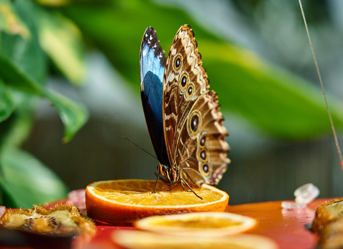 """They cannot """"eat"""" anything. ... Adult Blue Morpho Butterflies drink the juices of rotting fruit"""