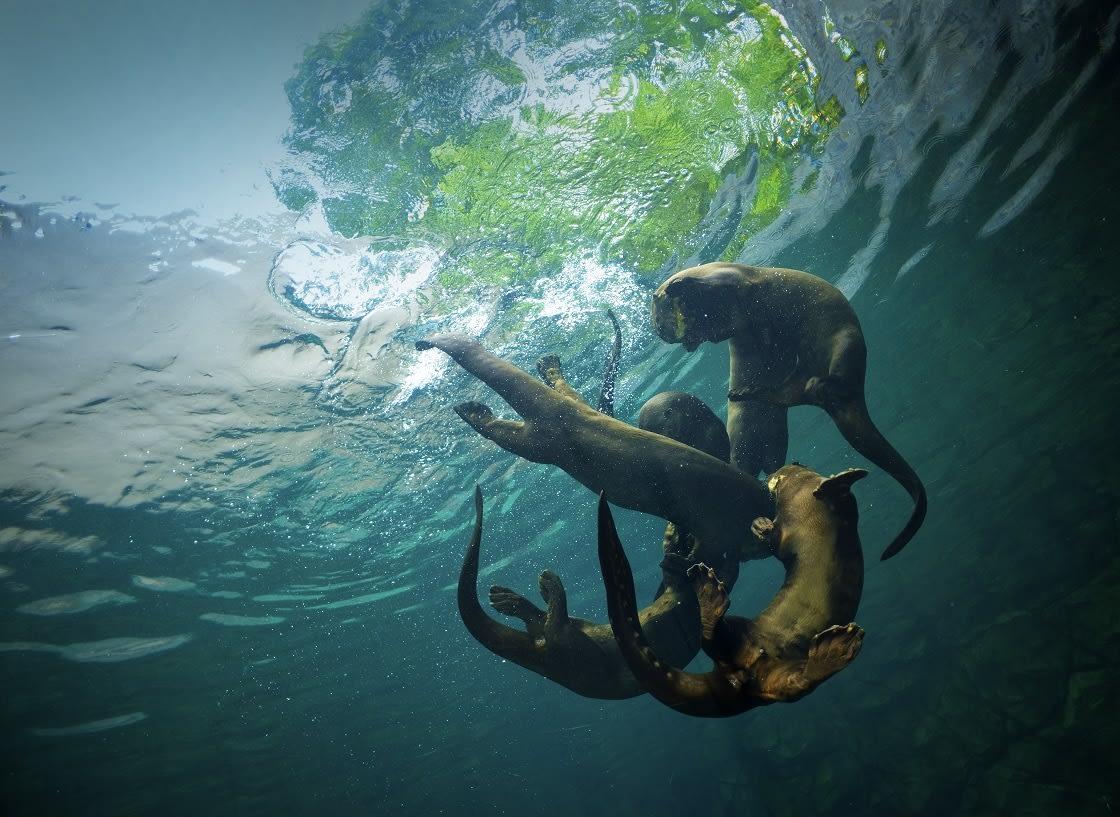 Giant River Otter Pteronura Brasiliensis Bottom View