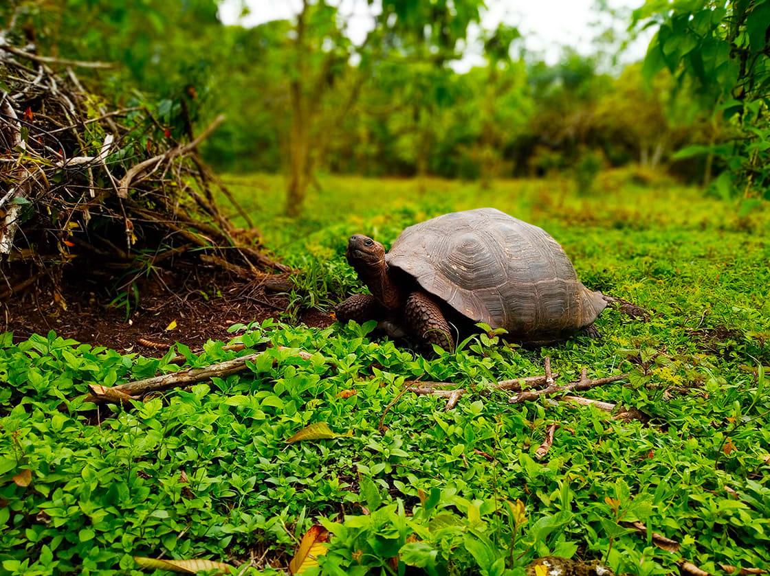 Rancho Primicias, Galapagos Turtle In Santa Cruz Island