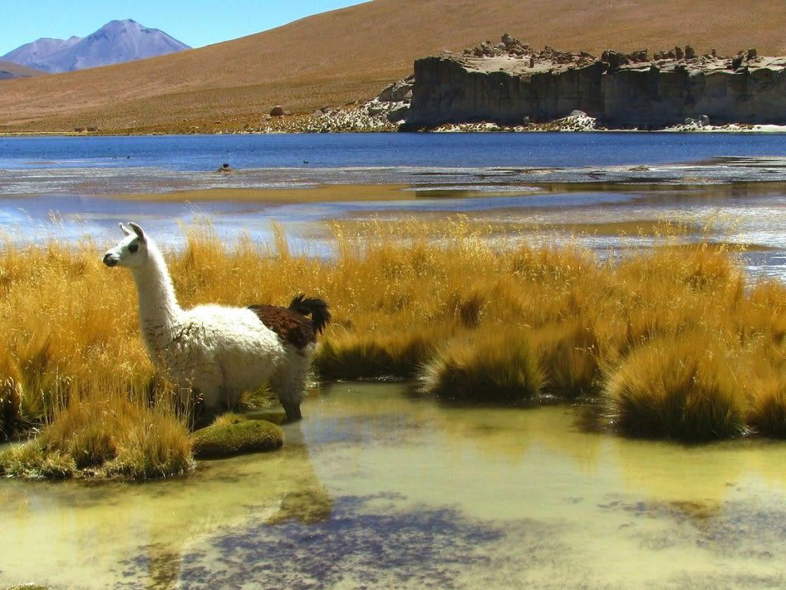 Llama In The Uyuni Flats