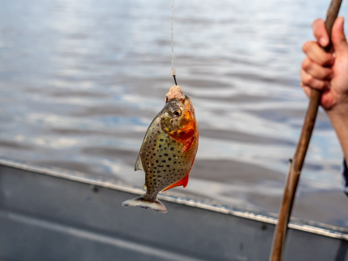 Red Bellied Piranha And Artisanal Fishing Cane