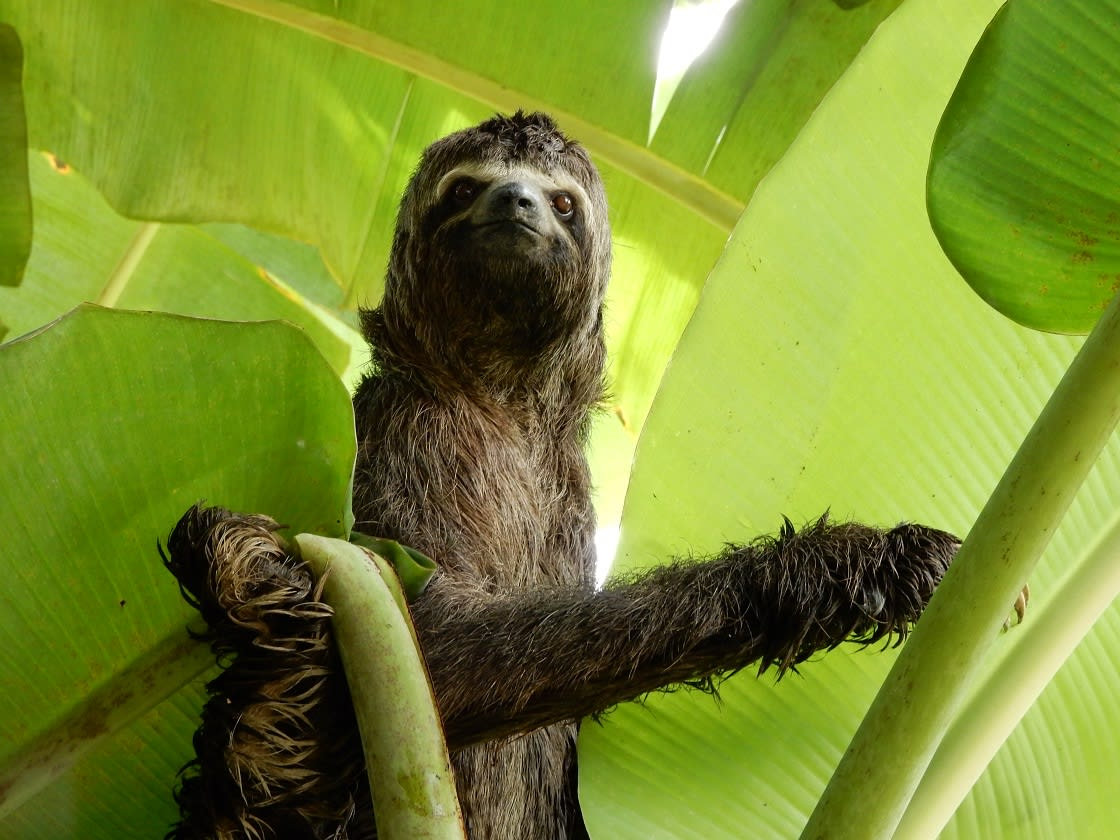 Sloths can swim three times faster than they can walk on land