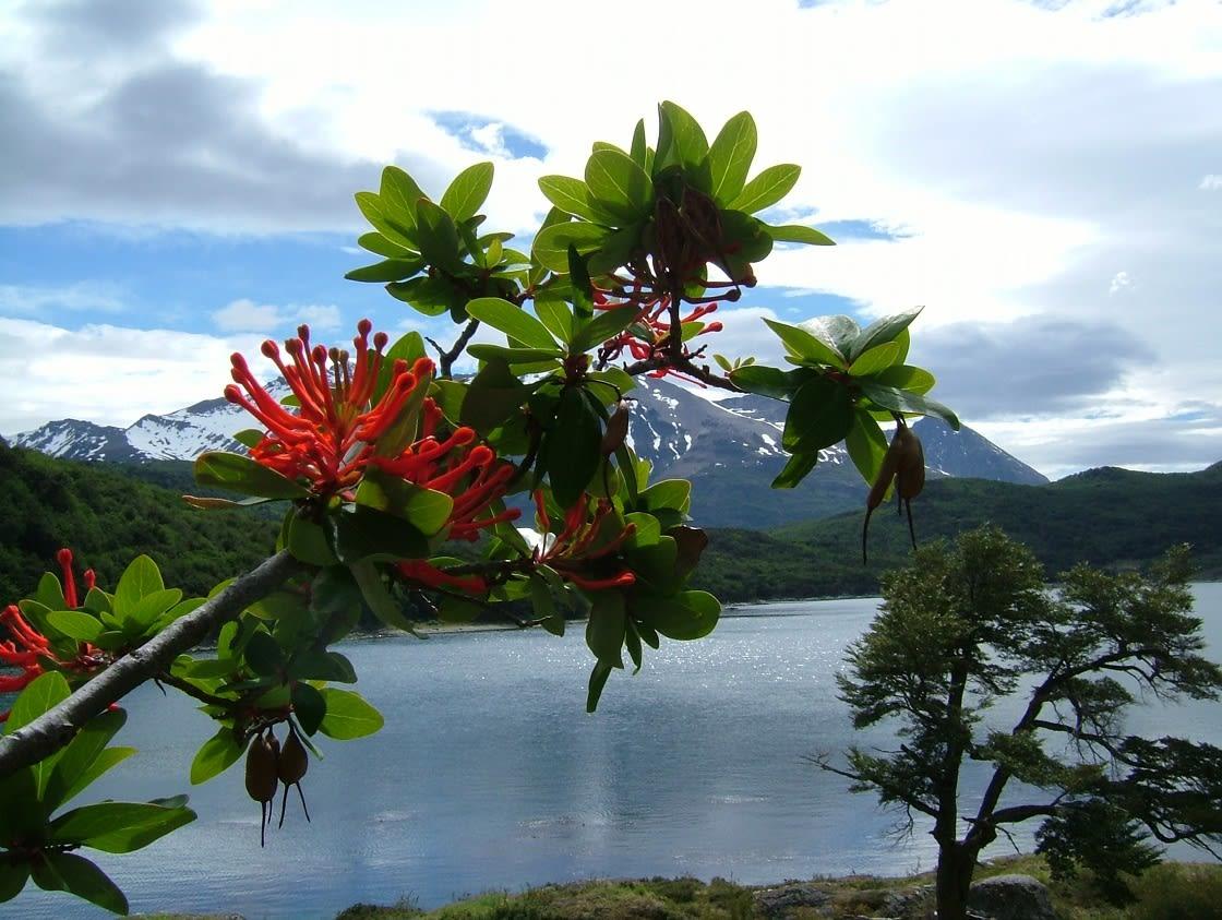 Notro Flower in Tierra del Fuego