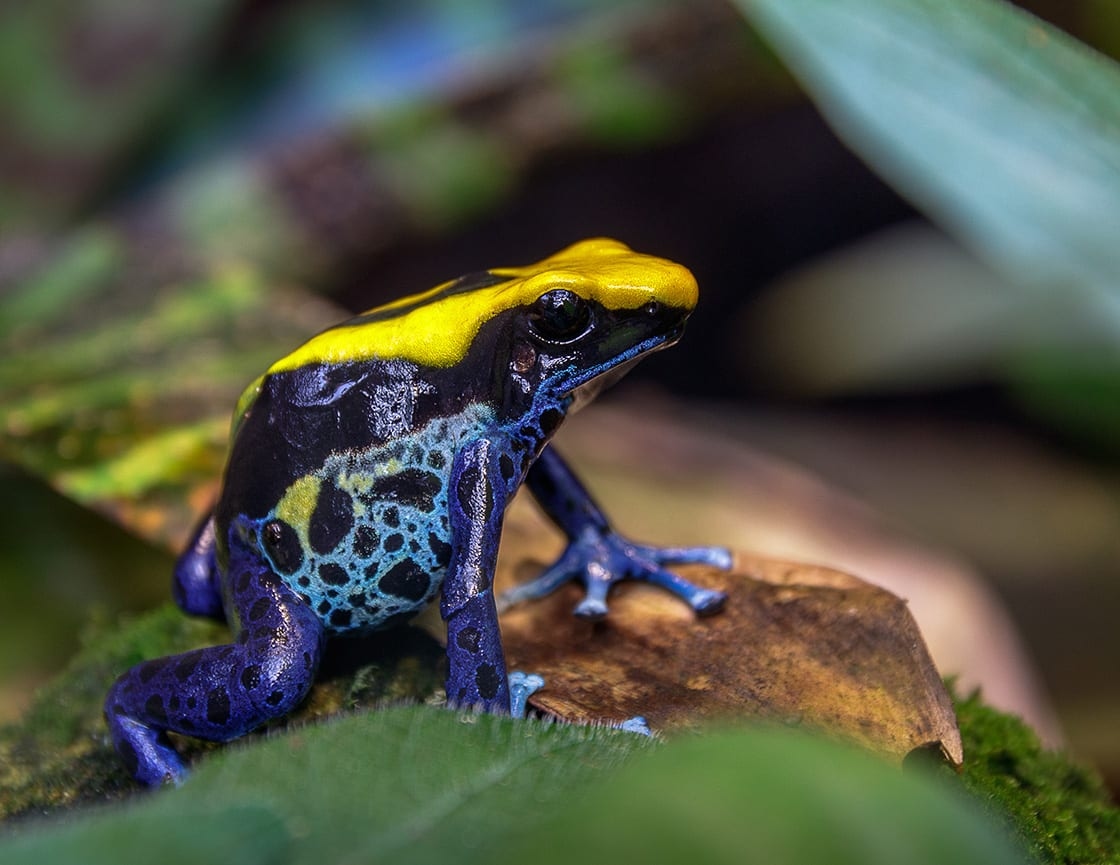 Blue And Yellow Bra Tree Frog