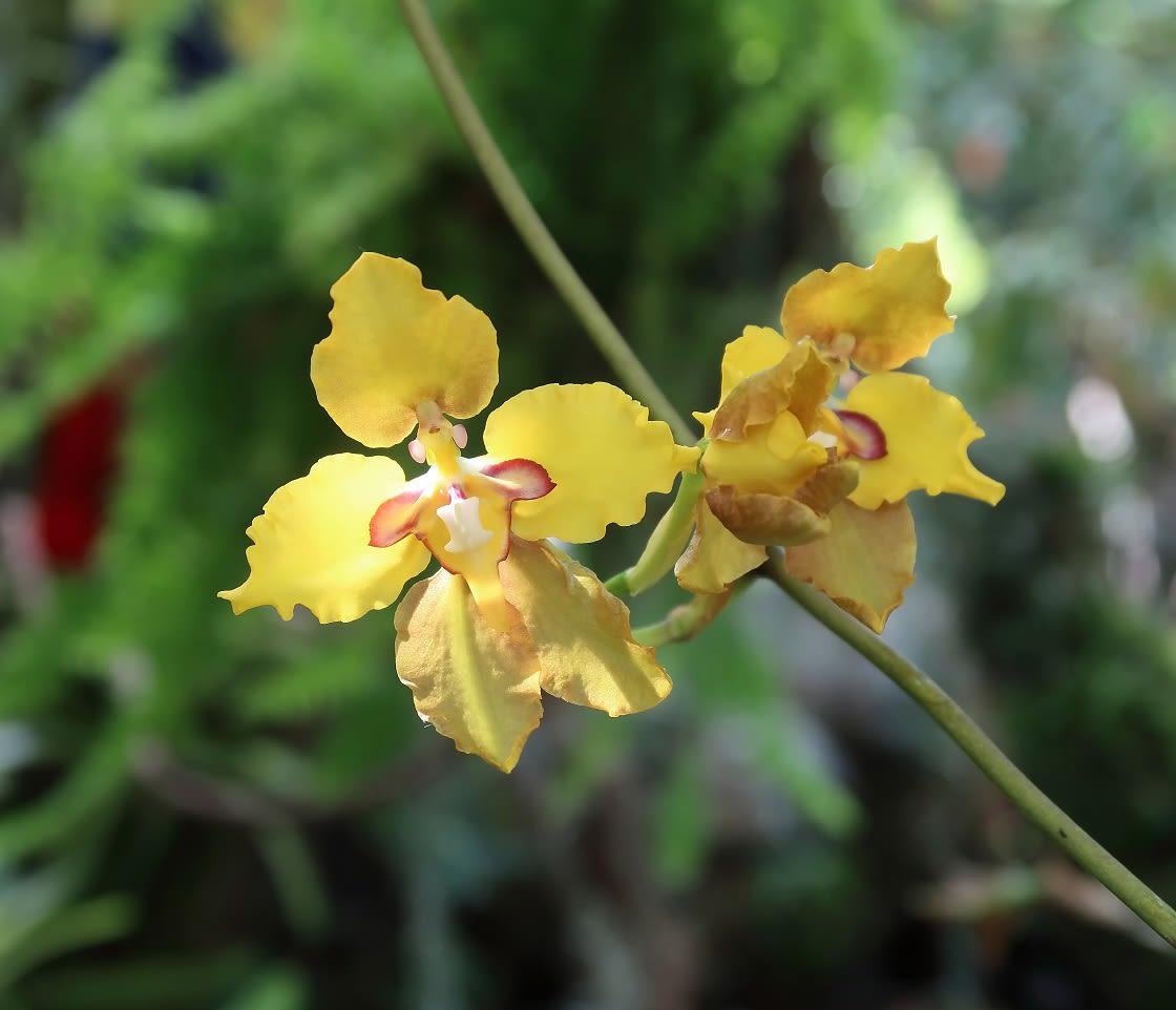 Single Yellow Amazonian Orchid