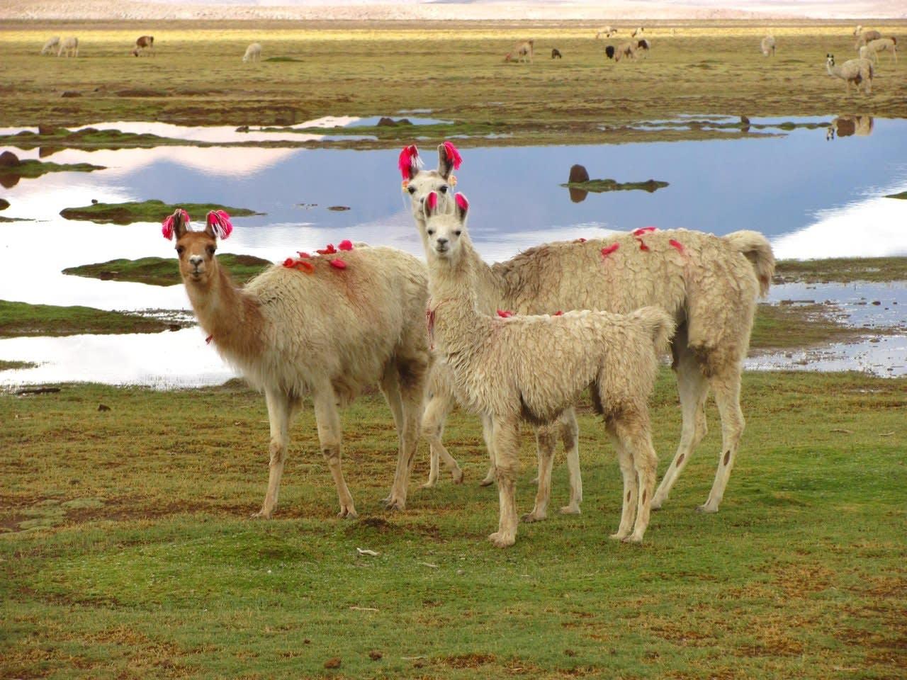LLamas In The Altiplano, Bolivia